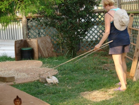 Using herding sticks to train guinea fowl